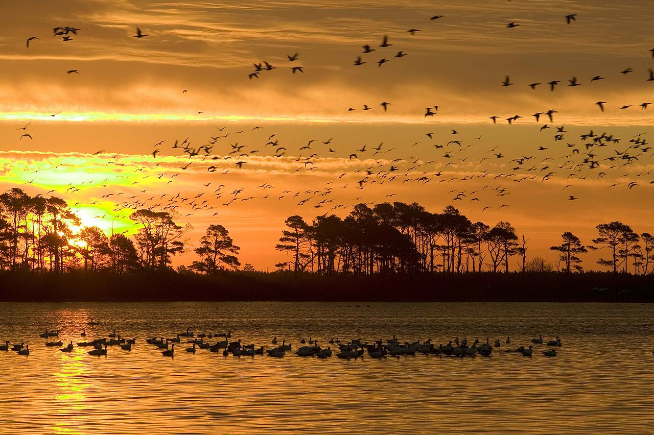 -A_mixed_flock_of_ducks_and_geese_fly_from_a_wetland_area-